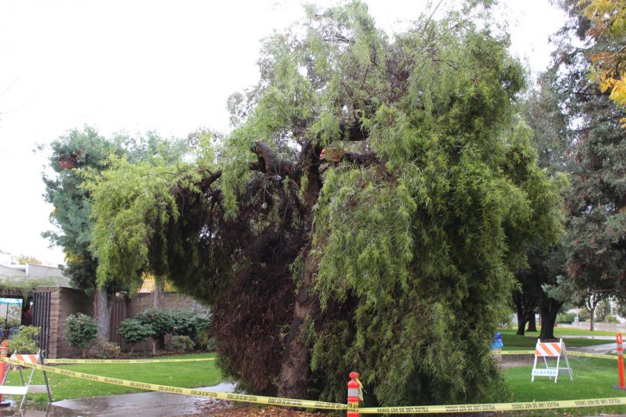 Tree falls in the quad