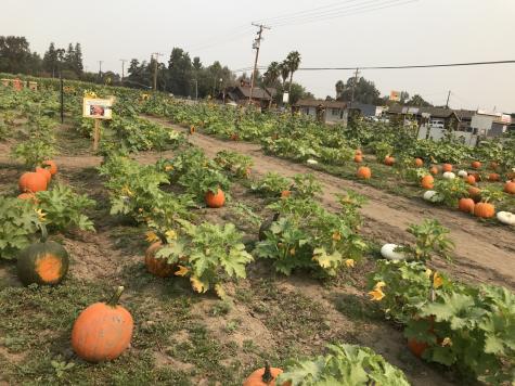 Pumpkin Patch at Vossler Farms